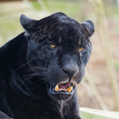 Black leopard, panther, head