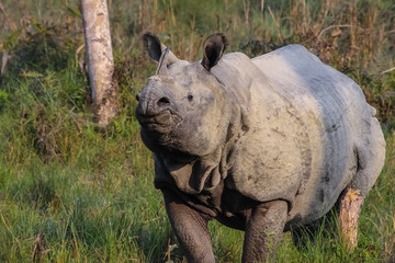Endangered Indian rhinoceros in morning light, facing, Chitwan National Park, Nepal