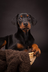 Doberman pinscher (Dobie) puppy