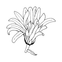 beautiful Gerbera isolated. Hand-drawn spring camomile flower.Coloring book page. design greeting card and invitation of the wedding, birthday, Valentine's Day, spring day, mother's day