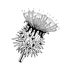 beautiful thistle isolated. Hand-drawn spring Cárduus flower.Coloring book page. design greeting card and invitation of the wedding, birthday, Valentine's Day, spring day, mother's day