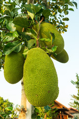 Jackfruit, native to Asia and largely grown and appreciated in thailand.