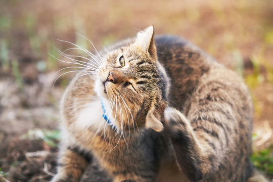 Domestic cat with blue collar scratching head in the garden