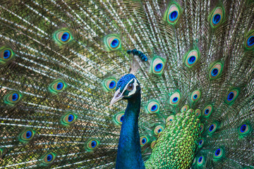 Portrait of beautiful peacocks are spread tail-feathers.