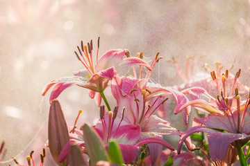 Pink lily in spray water