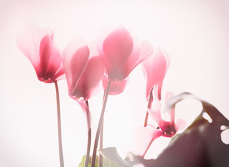 Blooming cyclamen on a white background. Picture for a love card. A gentle pink flower. Fresh flowering cyclamen.