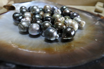 Fiji Black lip oyster shell with selection of black pearls