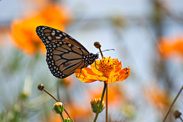Beautiful butterfly on an orange flowers and a colorful background