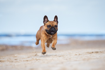 Türaufkleber Französisch bulldog happy french bulldog dog running on a beach