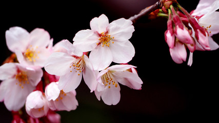 Real pink sakura flowers or cherry blossom close-up.