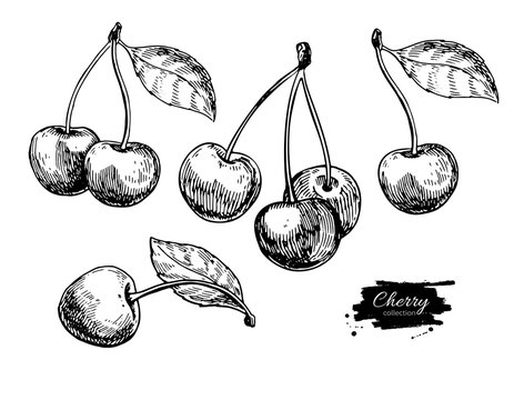 Cherry vector drawing set. Isolated hand drawn berry on white background. Summer fruit