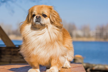 Beautiful red pekingese walk on outdoors in sunny day on nature backaround near blue river