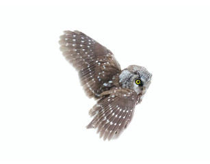 Tengmalm's owl on white background