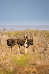 Ostrich (Struthio camelus) Walking Through Savannah, South Africa, Kruger Park