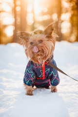 Beautiful Yorkshire terrier Sits on snow in overalls, winter, smile sunset