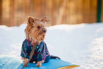 Puppy Yorkshire Terrier. team Executes the command to sit. Training with the cynologist. Winter. smiles. Sunset