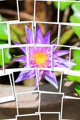 Lotus pink instant photo