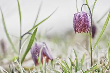 drooping Tulip a meadow springflower