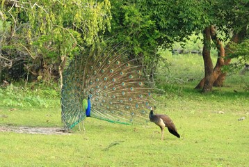 Indian Peafowl, Pavo cristatus. Male  peacock, female peahen