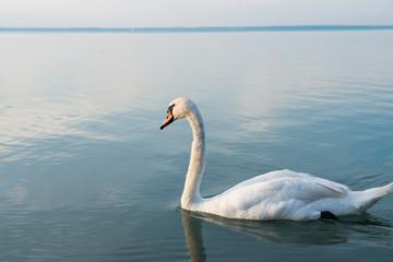 Swans on the lake Balaton in the sunset.
