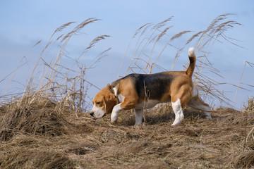 Portrait of a Beagle on a spring walk
