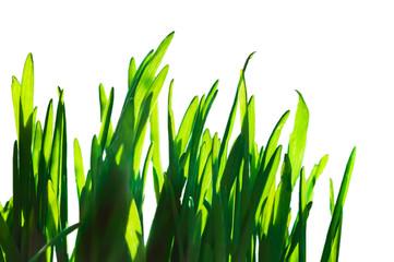 Fresh green spring grass blades