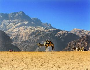 Yellow Sand Dune Camel Valley of Moon Wadi Rum Jordan