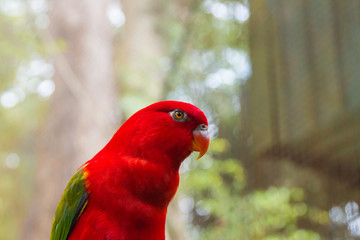 Red parrot (Chattering Lory) in Kuala Lumpur bird park, Malaysia