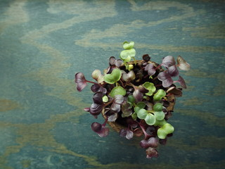 Micro-greenery, sprouts of broccoli in a pot. View from above