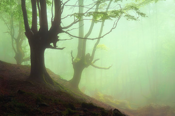 Wall Mural - beautiful foggy forest at spring