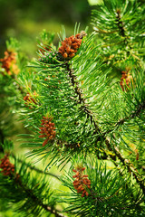 Conifer cones. Scots or scotch pine Pinus sylvestris male pollen flowers on a tree growing in evergreen coniferous forest. Pomerania, Poland. Selective focus.