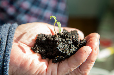 Hands of elderly man holding a green sprout growing from soil closeup