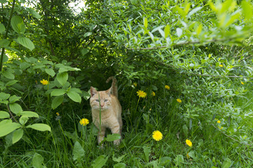 Red cat in the bush