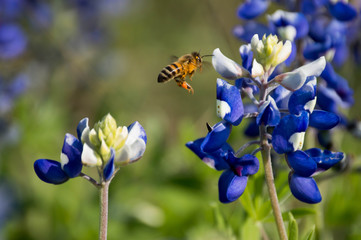 Fototapete - Bluebonnet with a bee