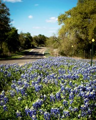 Fototapete - Roadside bluebonnets in central Texas