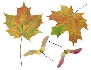 Set of leaves and maple seeds isolated on white background.