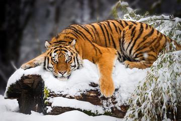 Siberian Tiger lying in Snow