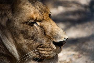 Profile Portrait of a Regal Lion