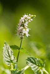 Wild mint flowering, Italy,