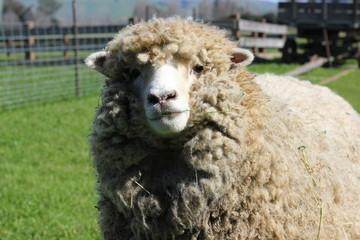 Close up of sheep looking at camera