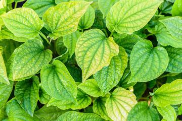 Betel Leaf Texture Background