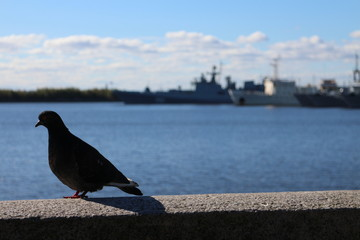 Pigeon on wall in Kronstadt, Russian federation
