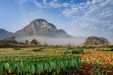 Vineales Cuba tobacco plantations