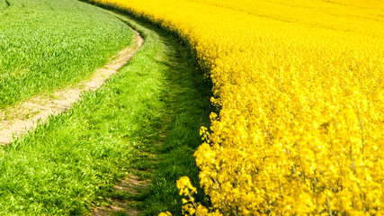 Field of rapeseed, aka canola or colza. Rural landscape with country road. Spring and green energy theme, Czech Republic, Europe.