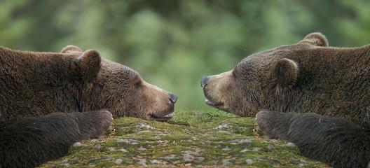 Wall Mural - brown bears