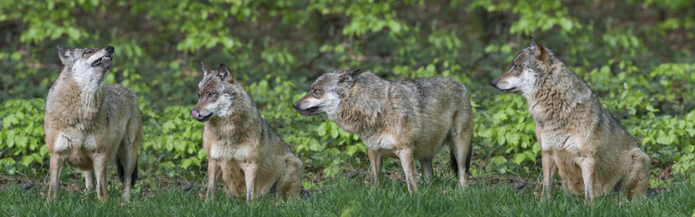 wolfs in a forest