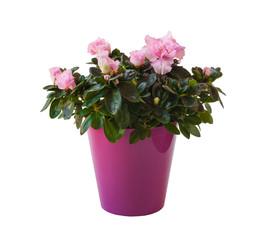 Azalea ( Rhododendron simsii ) in a pot