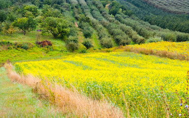 Colza plant yellow and green field