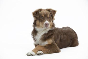 Hund australian shepherd als Freisteller