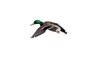Male Mallard Landing on White Background, Isolated